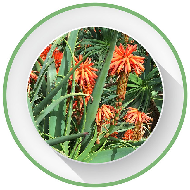 Aloe Arborescens Supplement