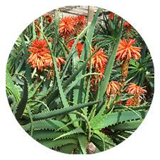 Aloe Arborescens Plant
