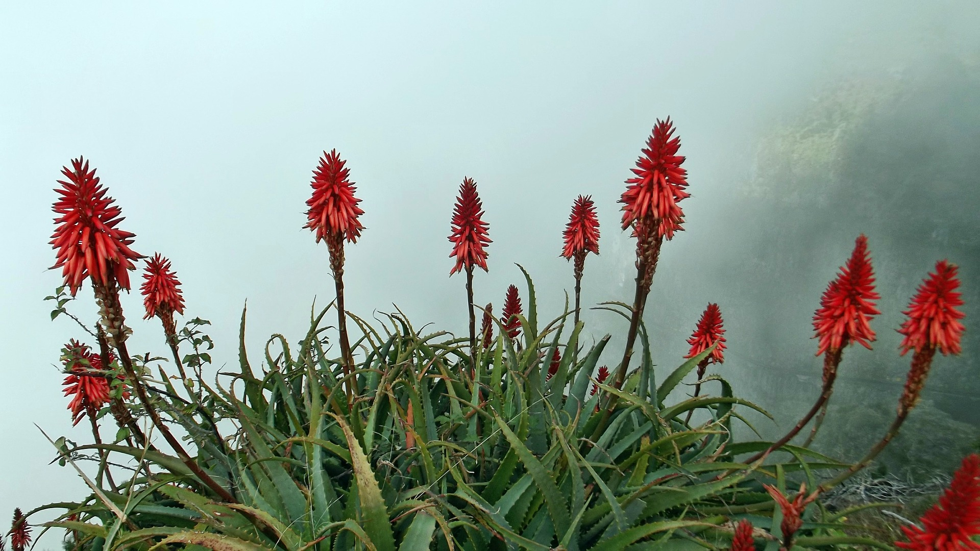 aloe arborescens plants